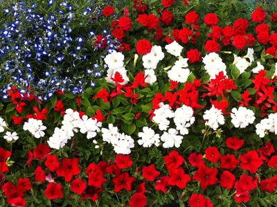 Red white and blue flag flowers