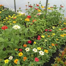 trays of annual zinnia flowers in greenhouse