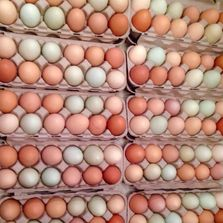 farm fresh pastured free range brown eggs, green eggs, and blue eggs from happy healthy hens
