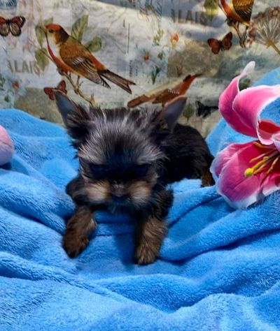 Tiny teacup micro Yorkie puppy north of knoxville TN ship to new york rhode island new hampshire