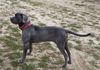 "Sedona ""Belle"", Cane Corso. About 3 yrs old, good with other dogs, not fond of men (Abuse case from high kill shelter)"
