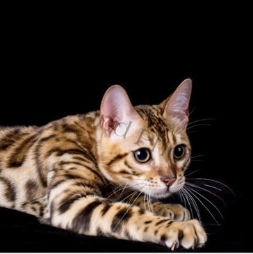 Jungle Fusion Bengals - Bengal Kittens, Bengal Cat, Kittens for Sale