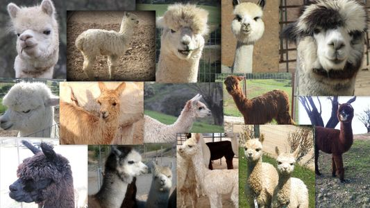 Alpacas come in 22 natural colors, are herd animals and are prized for their luxurious fiber.