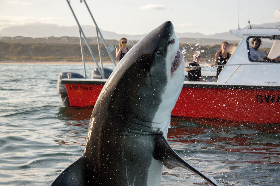 Great White Shark, South Africa, The Travelers Blueprint, Cape RADD, Save Our Seas Foundation, Dylan