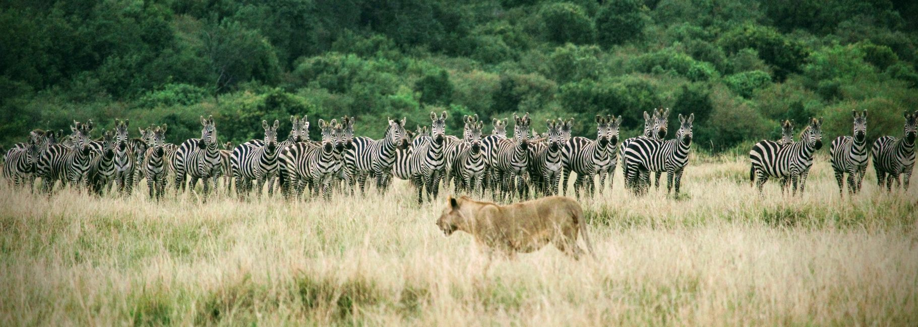 Lion, Zebras, Africa, Kenya, The Great Migration, Michela Solinas, The Travelers Blueprint, Travel