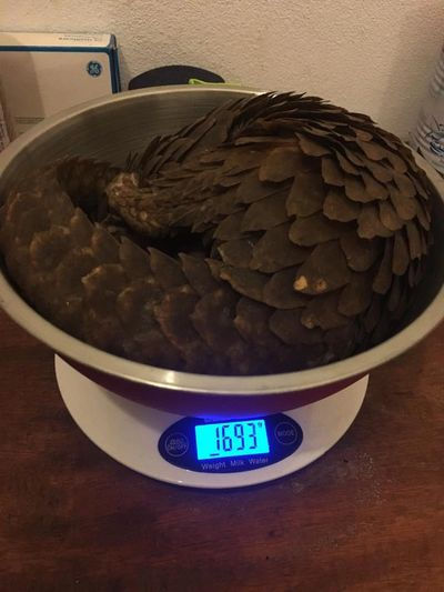Pangolin on a weighing scale