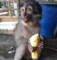 Rescued Sooty Mangabey