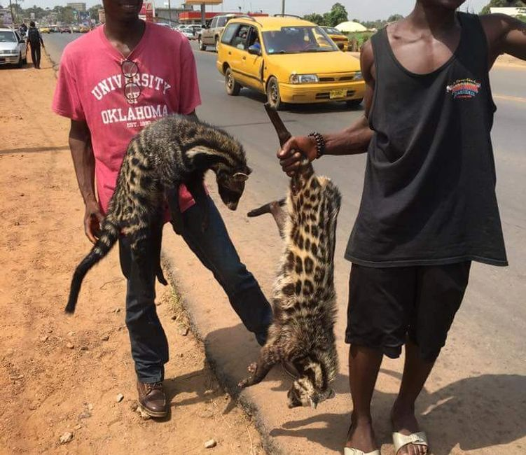African civets being sold on the streets in Monrovia, Liberia