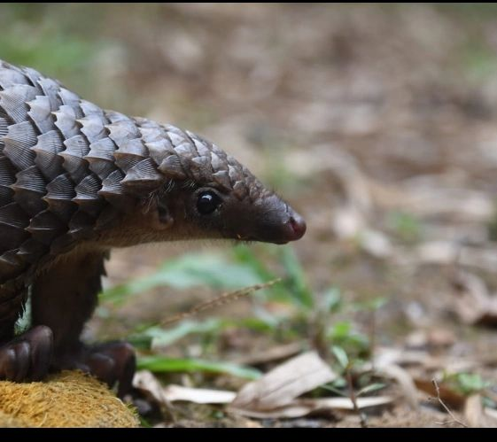 White bellied pangolin pup