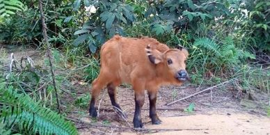 Forest buffalo calf
