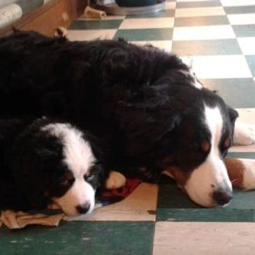 Bernese Mountain Dog with puppy