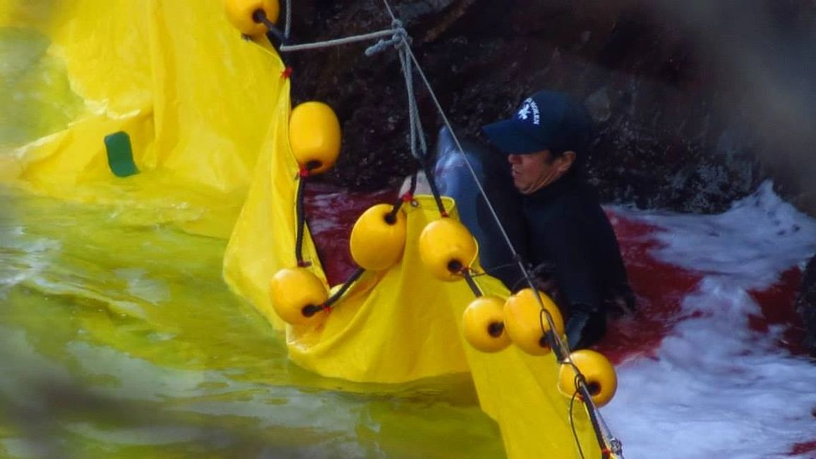 A dolphin suffers at the hands of a Taiji fisherman. Image: Justice for Captives
