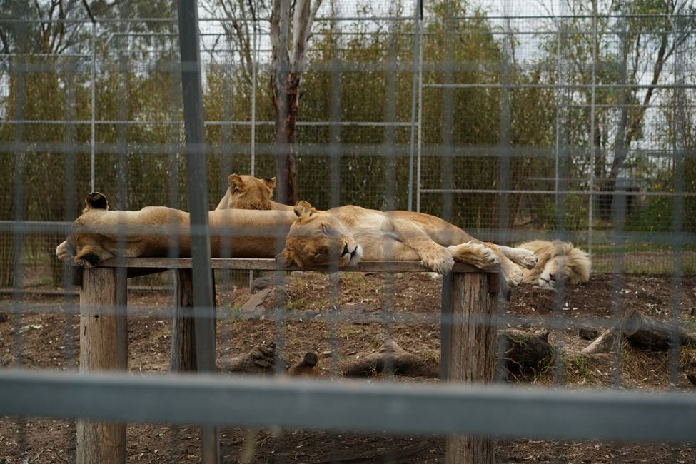 Image of captive lions courtesy of Justice for Captives