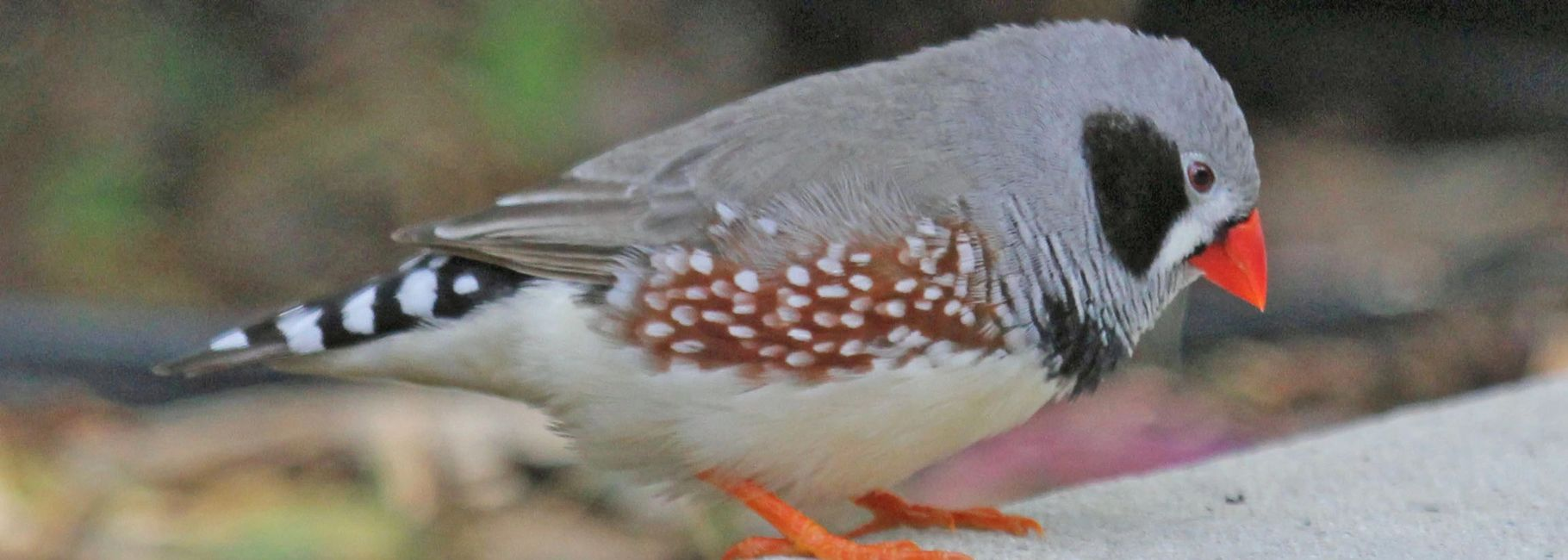 zebra finch for sale in florida