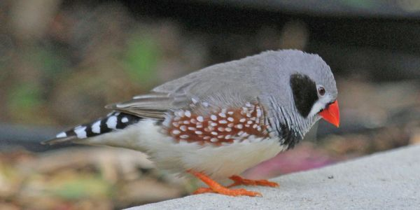 zebra finch for sale