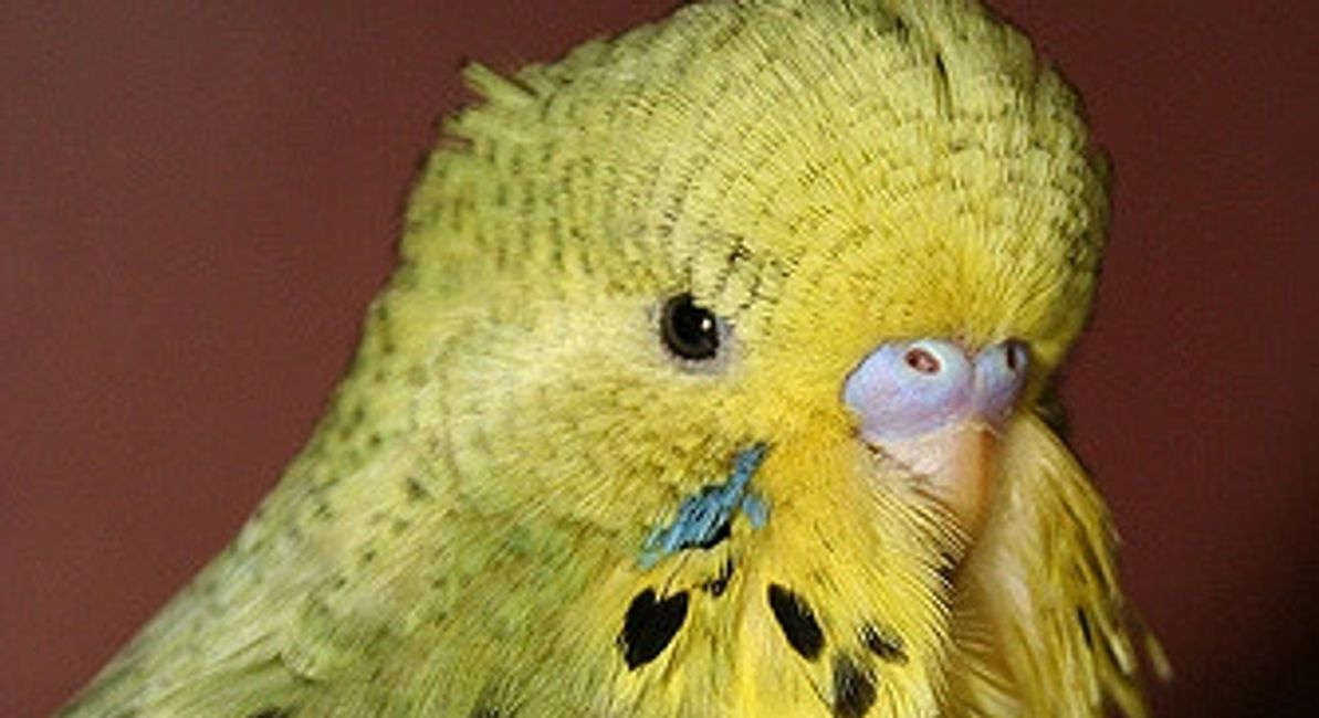 english budgies for sale in florida