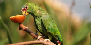 white fronted amazon parrot for sale