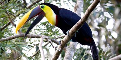 chestnut mandibled toucans for sale
