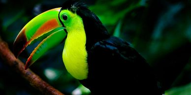 keel billed toucan for sale