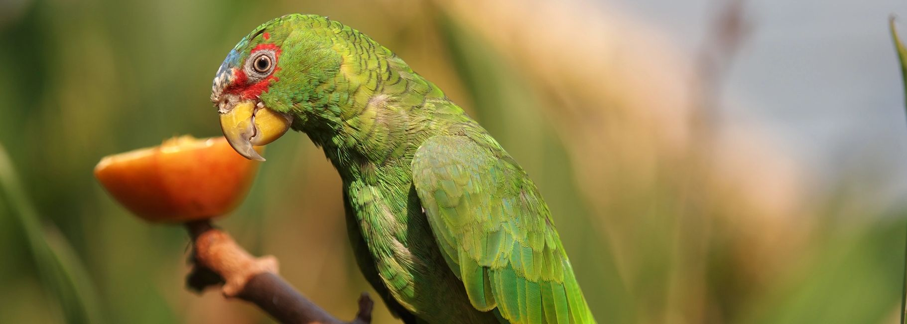 white fronted amazon parrot for sale in florida