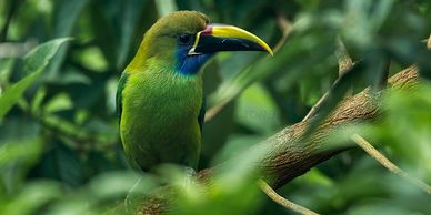 emerald toucan for sale