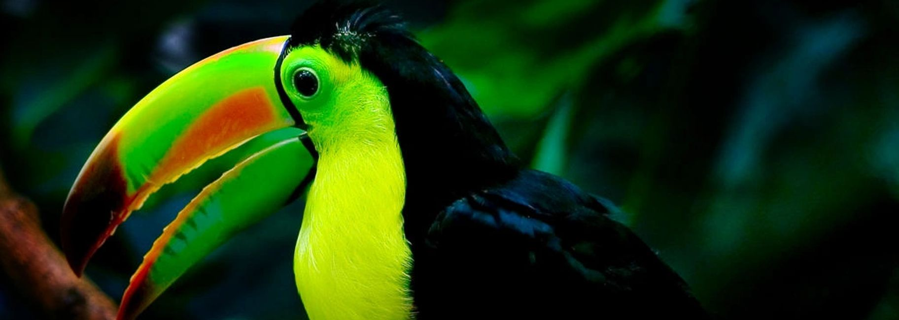 keel billed toucan for sale florida
