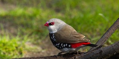 diamond firetail finch for sale