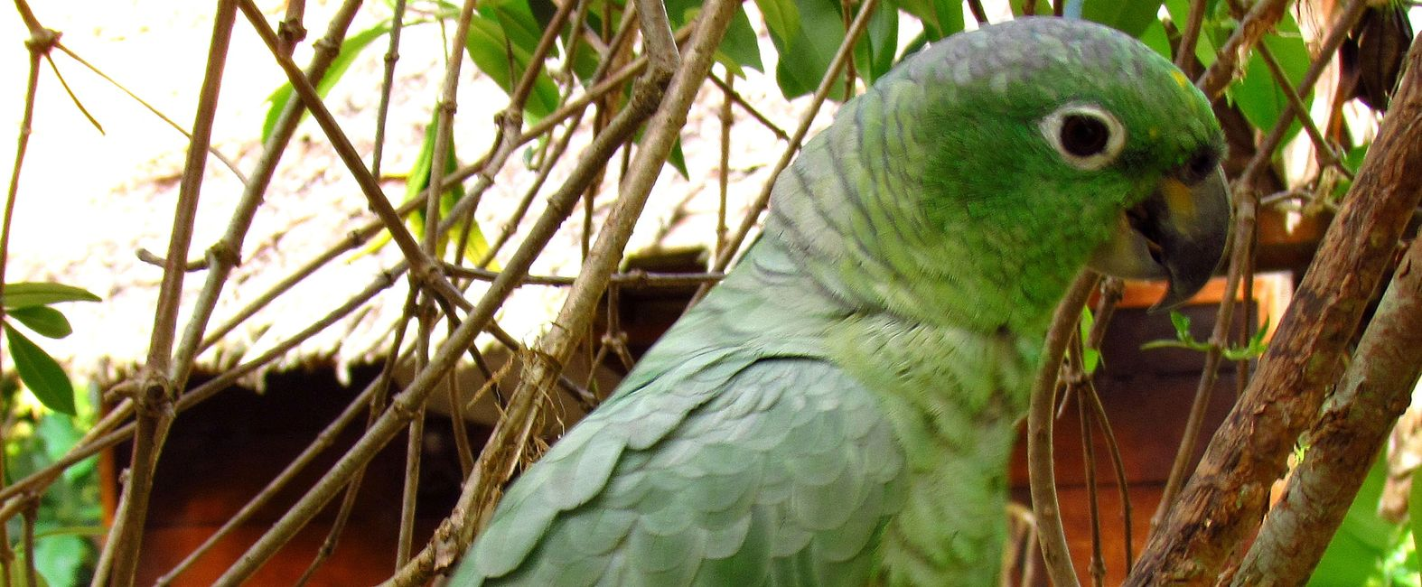 mealy amazon parrot for sale in florida