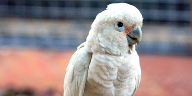 goffins cockatoo for sale