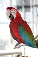 greenwing macaws for sale