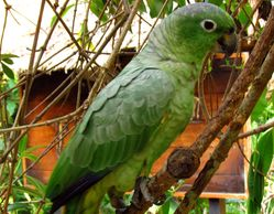 mealy amazon parrot for sale