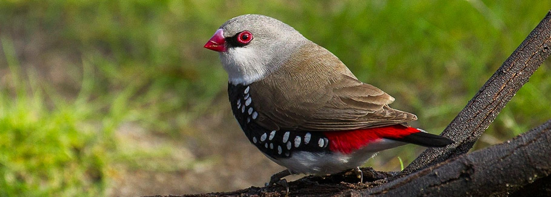diamond firetail finch for sale in florida