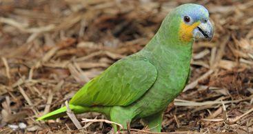 orange winged amazon parrot for sale