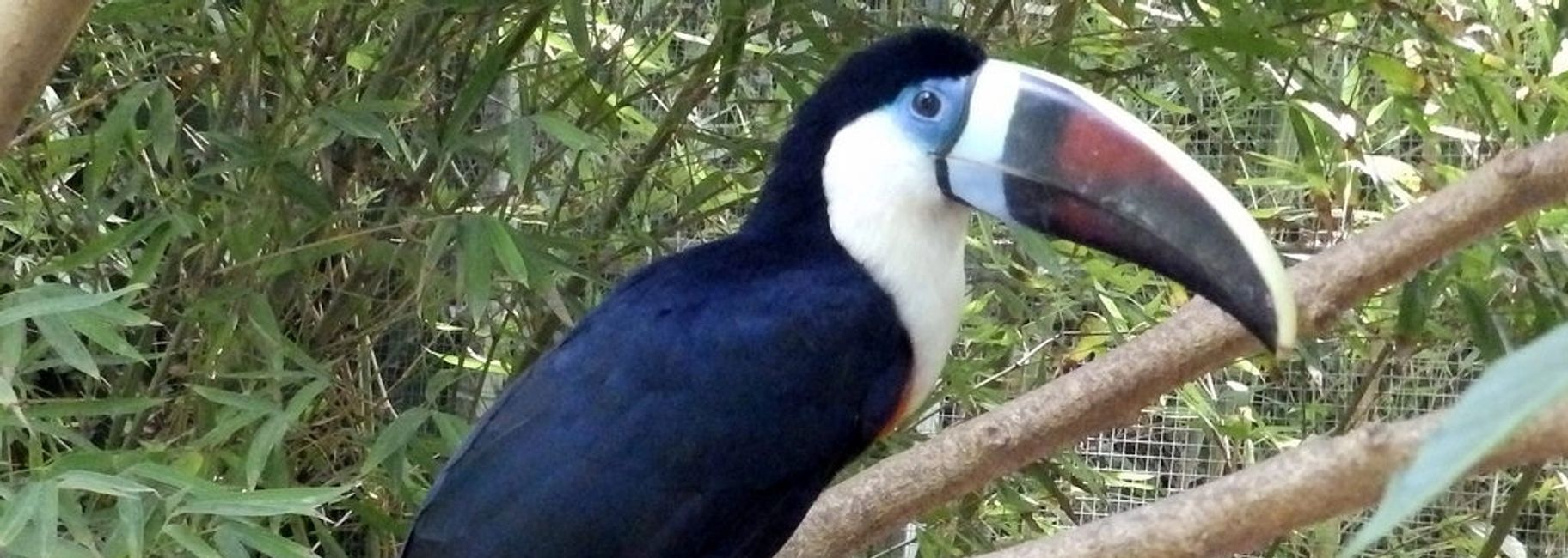 white throated toucan for sale florida