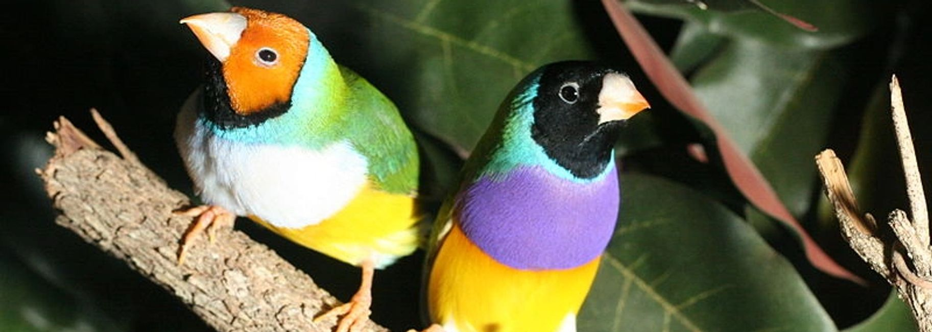 gouldian finch for sale in florida