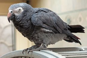 african grey for sale in florida