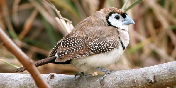 double barred finch for sale