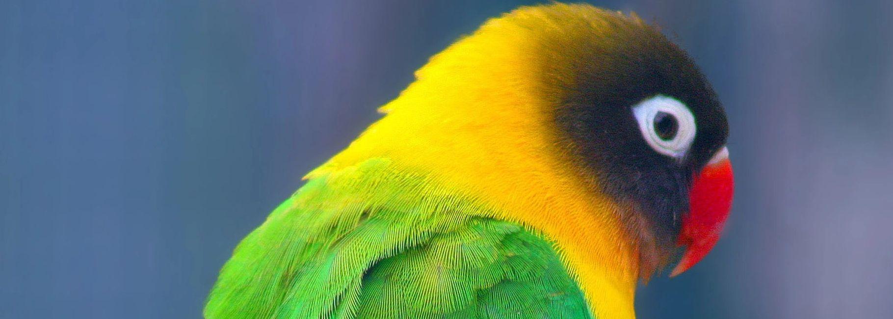 Masking Deficiencies Of Bird Photo From >> Florida Bird Breeders Lovebirds Parrots For Sale Florida Bird