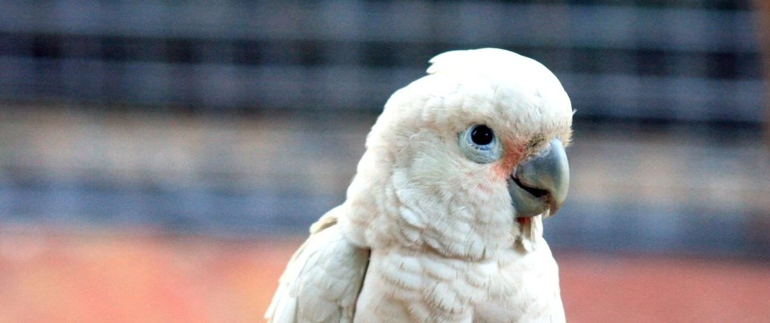 goffins cockatoo for sale in florida