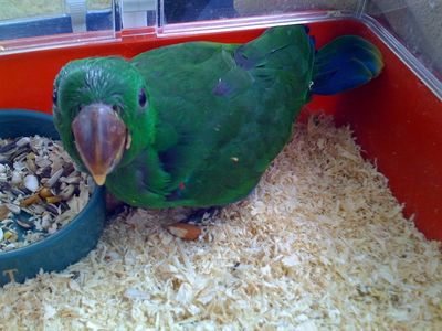 eclectus parrots for sale in florida