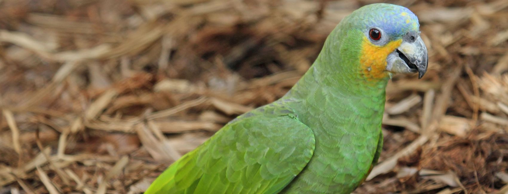 orange winged amazon parrot for sale in florida