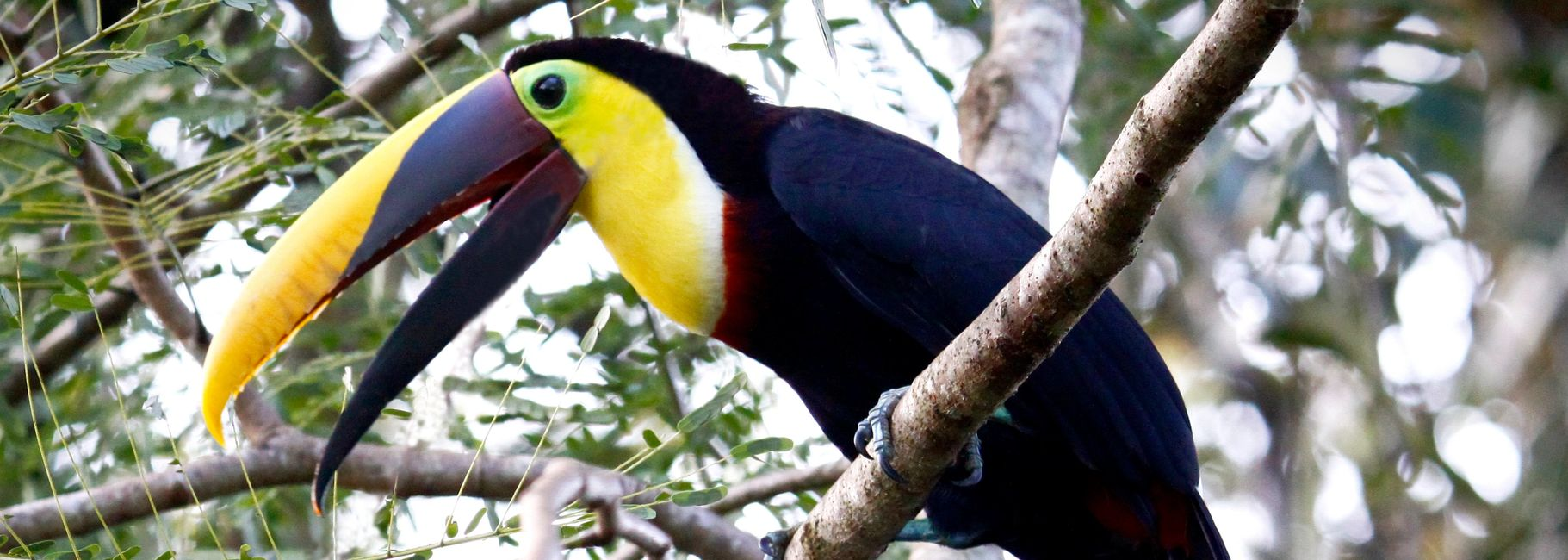 chestnut mandibled toucan for sale florida