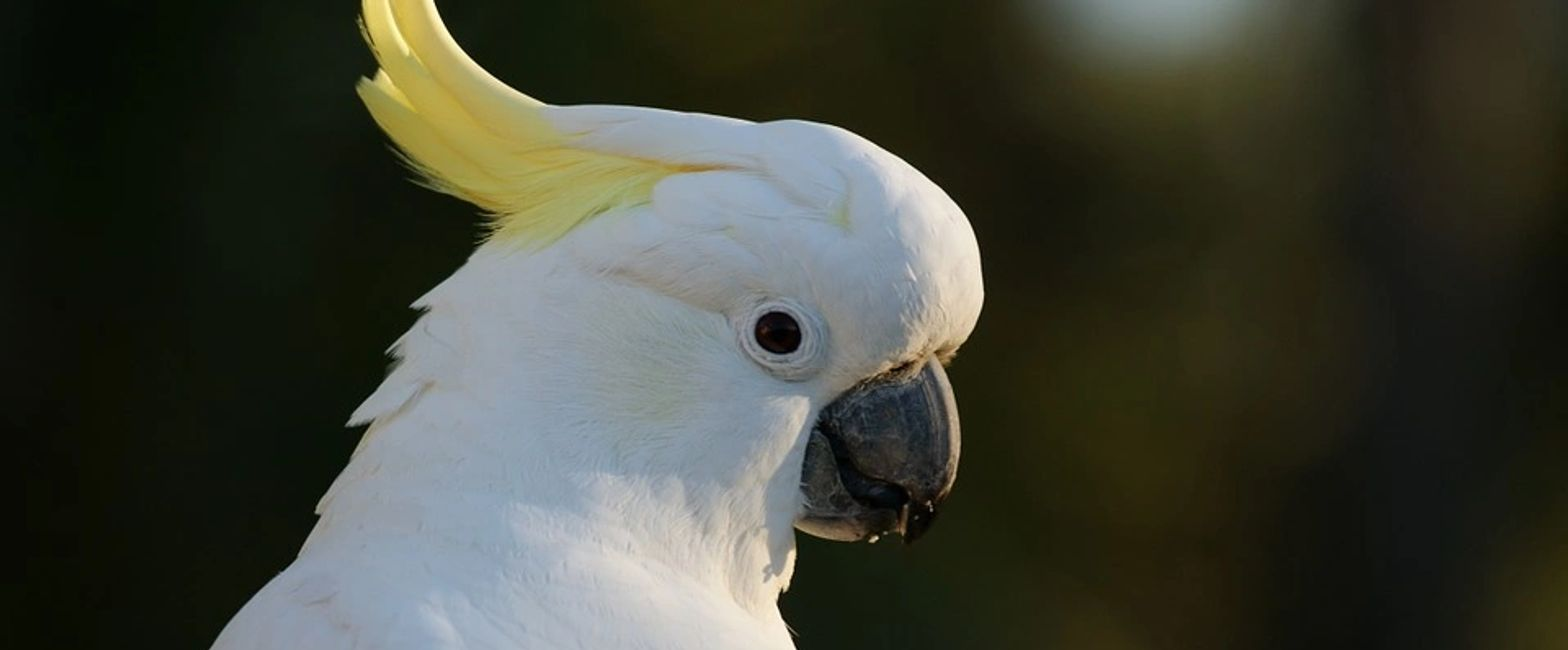 sulphur crested cockatoo for sale in florida
