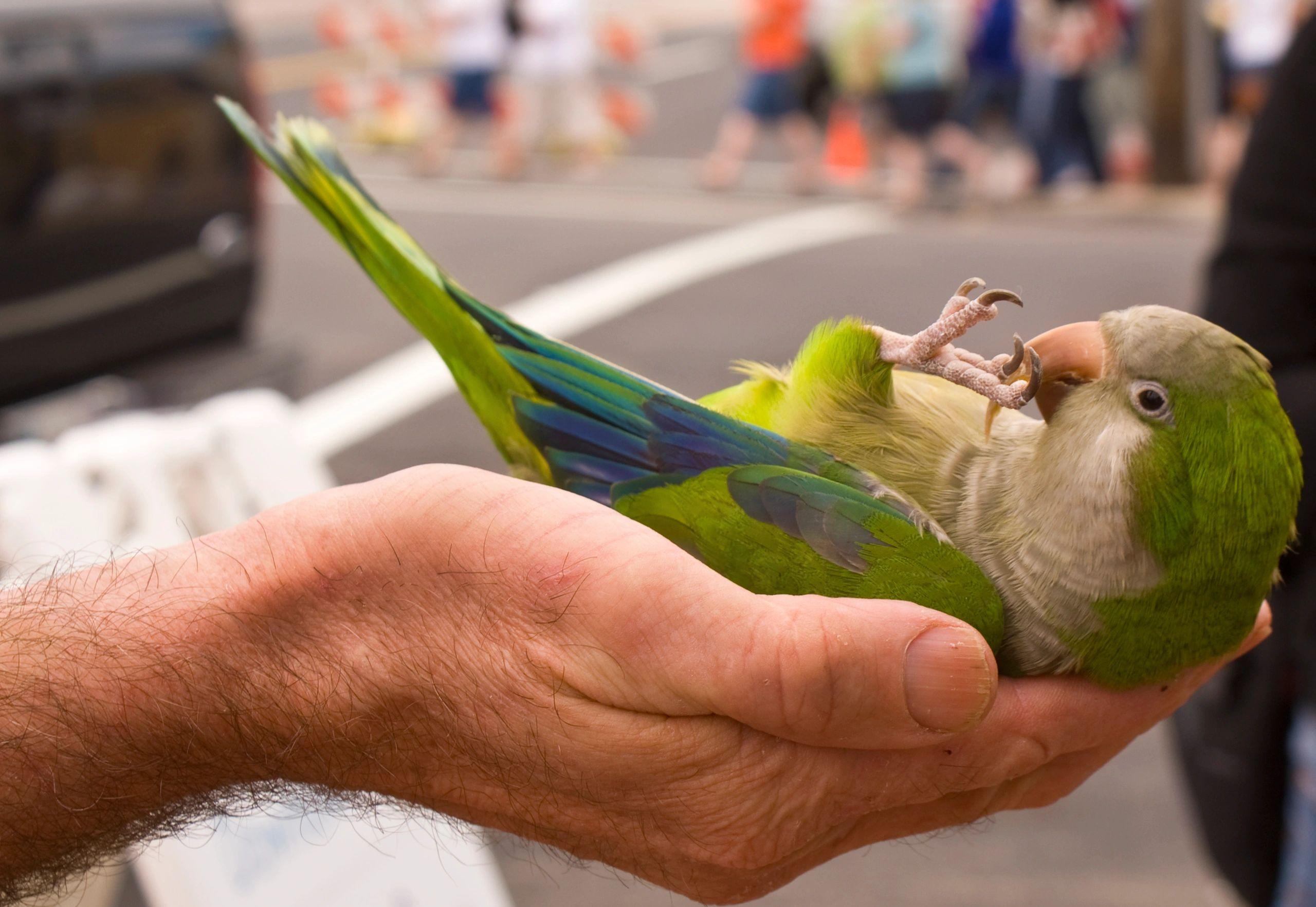 Top Ten Parrots For Beginners