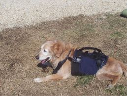 Help an older dog outside, even dogs with arthritis or vestibular disease, DM, or Wobblers syndrome. Weak dogs, senior dogs, and other pets with trouble walking can use our support harnesses to get up, out, and around.