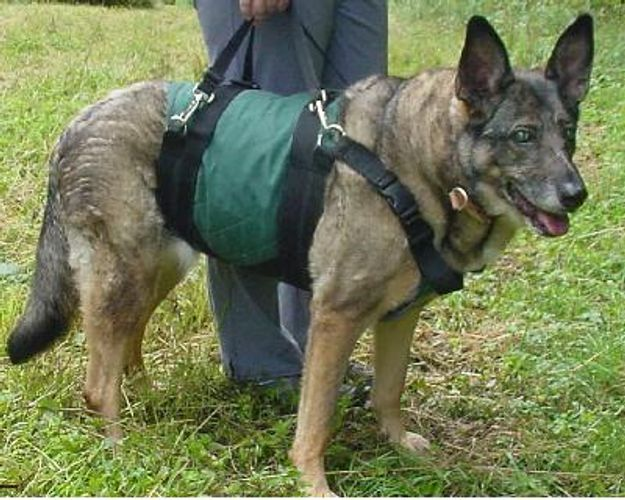 Blind Dog, German Shepherd, Large Dog in Dog Harness for helping dog walk, or lifting dogs up.