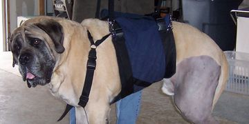 How do you move a 240 lb animal that has trouble walking? With a custom Support Suit from AST.