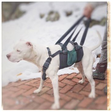 Dogs with balance problems like Wobblers Syndrome can use our Get-a-Grip Dog Harness to aid mobility