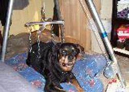 A large, paralyzed Rottweiler is supported in his Suit with a modified game hoist to help him stand.