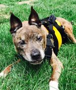 Help your dog outside with the sturdy support of our custom Support Suit dog harness, Made in USA.